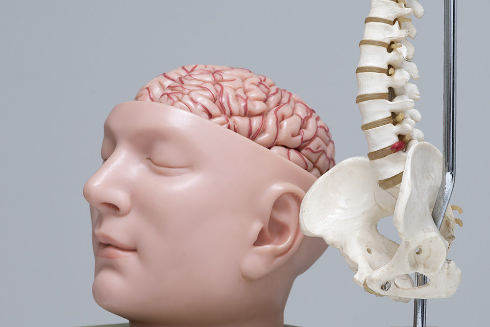 Artificial human lumbar spine and brain model in medical office